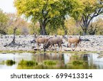 greater kudu herd drinking at... | Shutterstock . vector #699413314