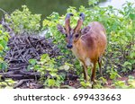 Little Common Muntjac Looking...