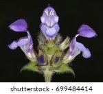 Small photo of Prunella (self-heals or allheal), a genus of herbaceous plants in the family Lamiaceae