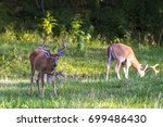 Whitetail Deer Grazing In A...