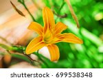 Orange Lilia. Summer. Outdoor.