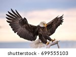 American Bald Eagle Reaching...