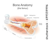 the femur is the strongest bone ... | Shutterstock .eps vector #699559996