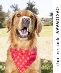 golden retriever park portrait    Shutterstock . vector #699601360