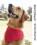 golden retriever park portrait    Shutterstock . vector #699601408