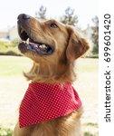golden retriever park portrait    Shutterstock . vector #699601420
