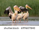 White Pelicans On The Lake
