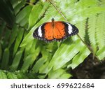 Small photo of Orange Lacewing (Cethosia penthesilea)