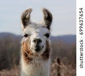 Brown and white llama   close...