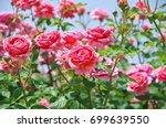 english roses garden in sennan... | Shutterstock . vector #699639550