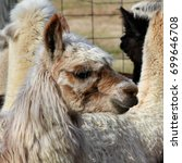 Small photo of Brown and White Alpaca - Close up photograph of a young brown and white alpaca in an enclosure with other alpacas and llamas. Selective focus on the alpaca's head features.