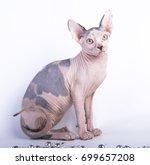 sphynx sphinx devon rex bald... | Shutterstock . vector #699657208