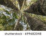 Kauri Trees  A Grove Of Kauri...