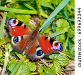 Small photo of Aglais urticae (Nymphalis urticae)