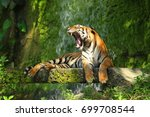 the indochinese tiger  panthera ... | Shutterstock . vector #699708544