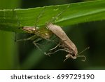 lynx spider biting the brown... | Shutterstock . vector #699729190
