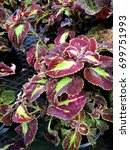 Small photo of Plectranthus scutellarioides 'Saturn', cultivar with medium sized purplish red leaves with central yellow patch, and additional small patches, margin crenate with pale yellow border.