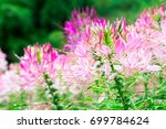 pink spider flowers or cleome... | Shutterstock . vector #699784624