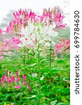 pink spider flowers or cleome... | Shutterstock . vector #699784630