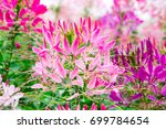 pink spider flowers or cleome... | Shutterstock . vector #699784654