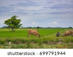 cow eating grass or rice straw... | Shutterstock . vector #699791944