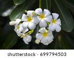 white plumeria flowers | Shutterstock . vector #699794503