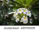 plumeria flowers and color... | Shutterstock . vector #699794539