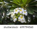 plumeria flowers blooming on... | Shutterstock . vector #699794560