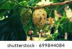 noni fruits  mengkudu or great... | Shutterstock . vector #699844084
