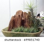 Tillandsia Pineapple  Air Root...