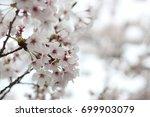 beautiful white and pink cherry ... | Shutterstock . vector #699903079