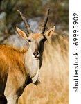 Small photo of Eland Antilope alcina white