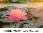 lotus flower  rare flower.... | Shutterstock . vector #699959866