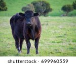 Black Angus Beef Cow Going For...