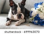 dog with wedding rings. boston ... | Shutterstock . vector #699963070
