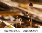 mushroom and fungi in tropical... | Shutterstock . vector #700005604