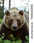 european brown bear  ursus... | Shutterstock . vector #700060000