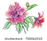 terry hibiscus  drawing by...   Shutterstock . vector #700062010