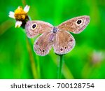 Small photo of A brown butterfly adhere on grass flower