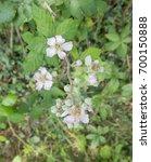 Bramble  Rubus Fruticosus ...