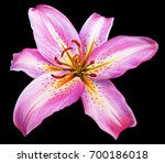 Day Lily Flower Pink Drawing O...