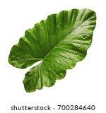 alocasia odora foliage  night... | Shutterstock . vector #700284640