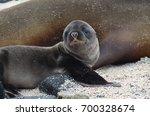 a newborn california sea lion... | Shutterstock . vector #700328674