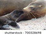 a california sea lion and its... | Shutterstock . vector #700328698