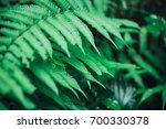 fern leaves in the forest... | Shutterstock . vector #700330378