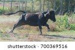 bull running  charging...