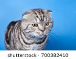 Scottish Fold Cat With Stripes...