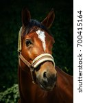 Small photo of Portrait of a bay horse in a halter on a blurred green background. Close-up animal s head. Outdoors selective focus image