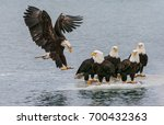 american bald eagle landing on... | Shutterstock . vector #700432363