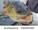 Fishing. Walleye In The Angler...